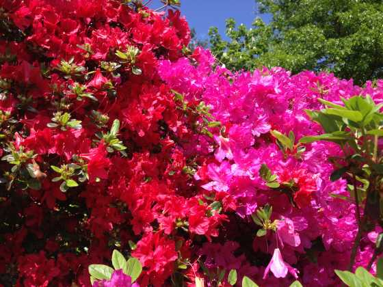 The trees and flowers of augusta national golfblogger golf blog centuries of selective breeding have created more than 10000 different varieties the azalea is the state wildflower of georgia of the flowers and trees mightylinksfo